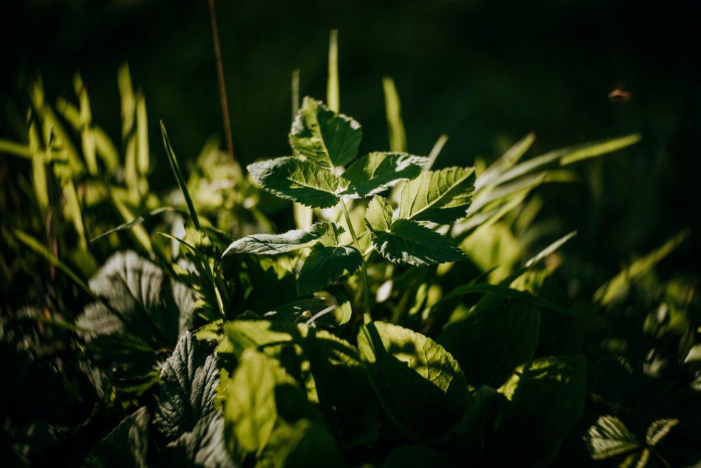Wildpflanze Giersch Waldecker Brunch Heilplanzen